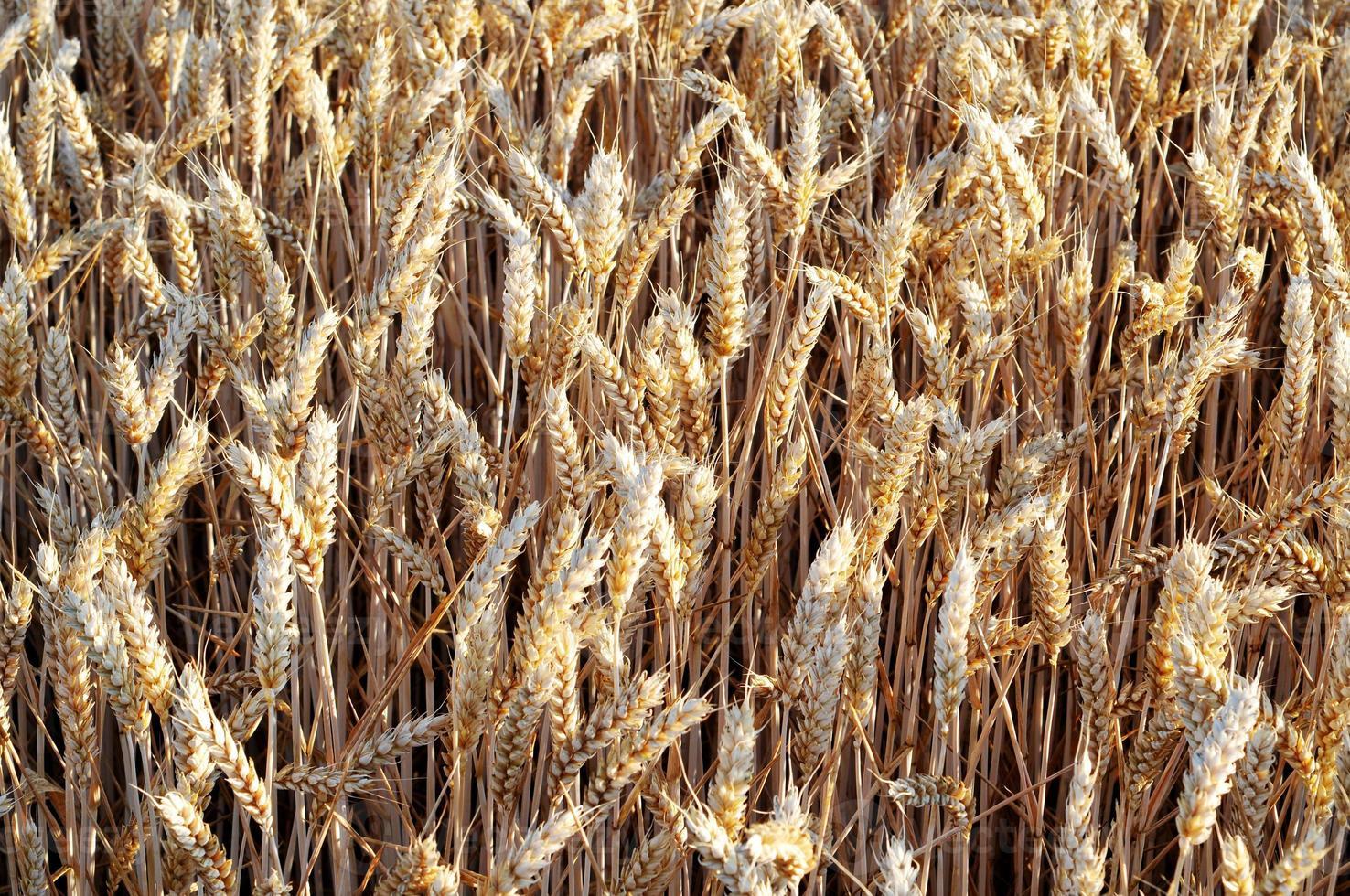 trigo dourado no campo foto