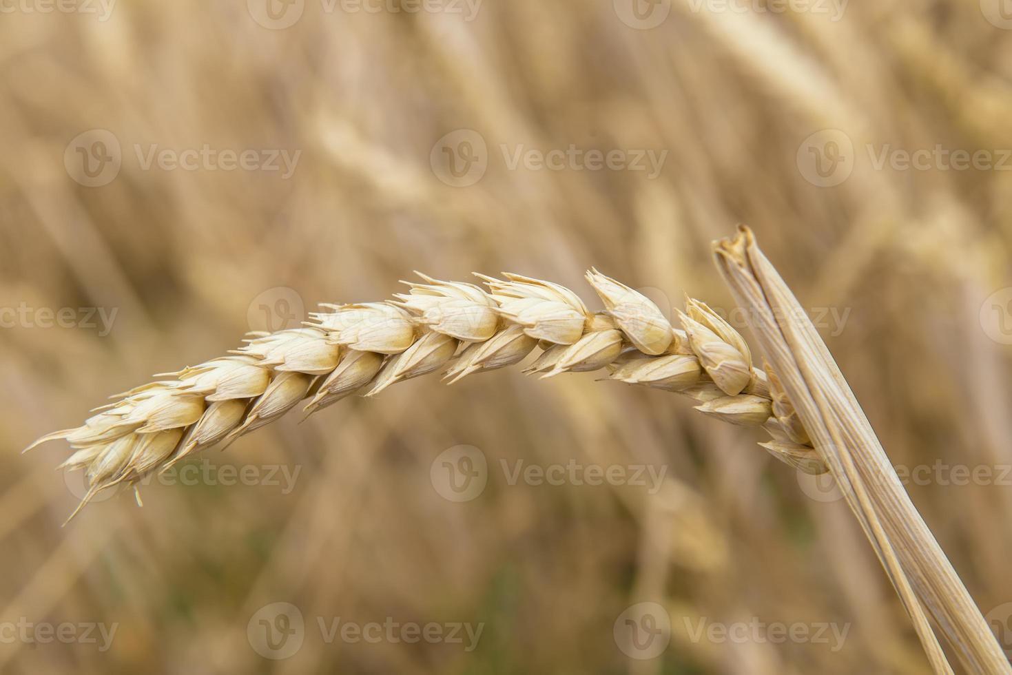 colheita de cereais foto