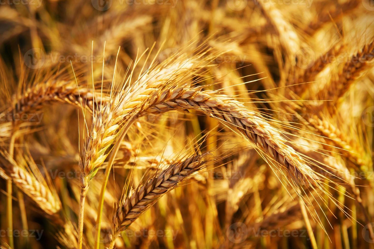 douradas espigas de trigo no campo. foto