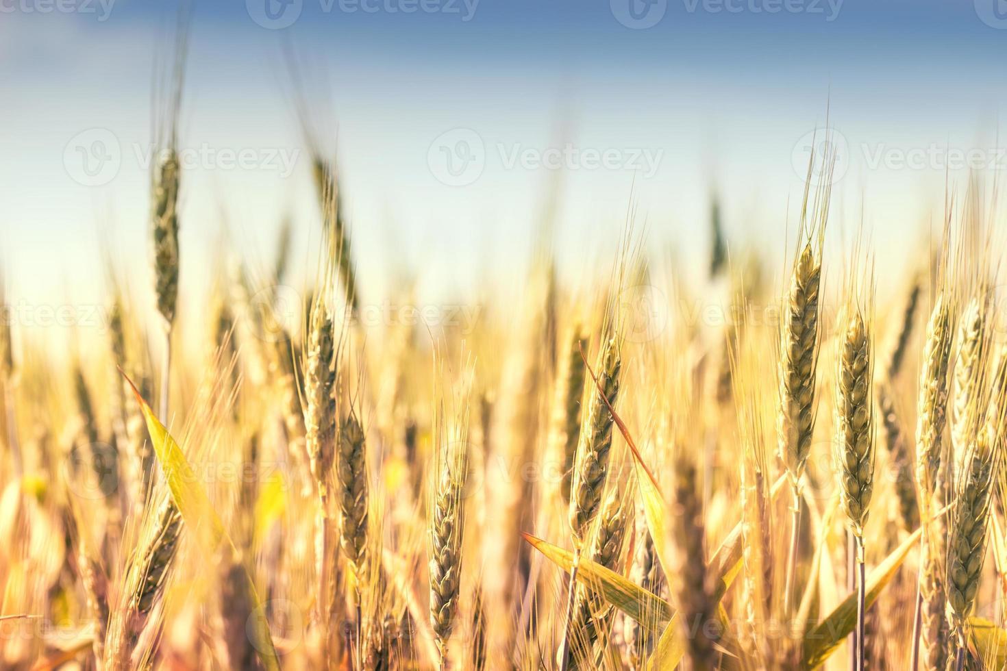 campo de cereal foto
