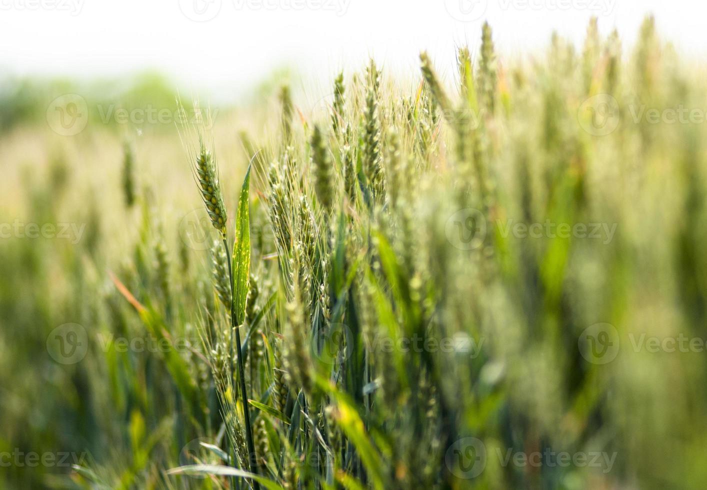 Campos de trigo foto