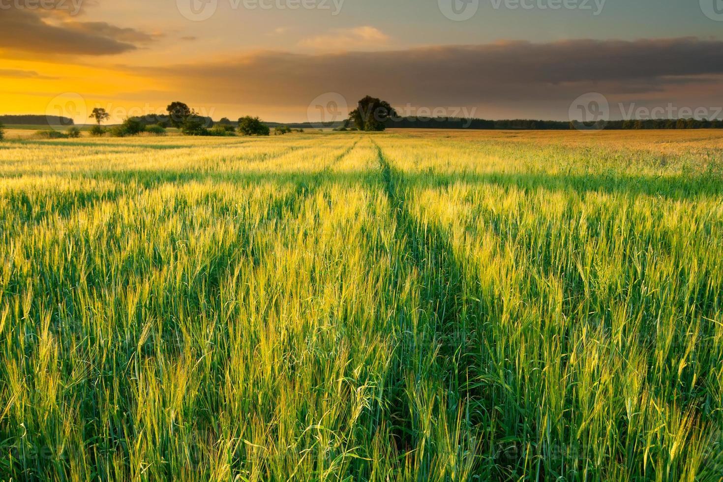 pôr do sol sobre o campo de milho de verão foto