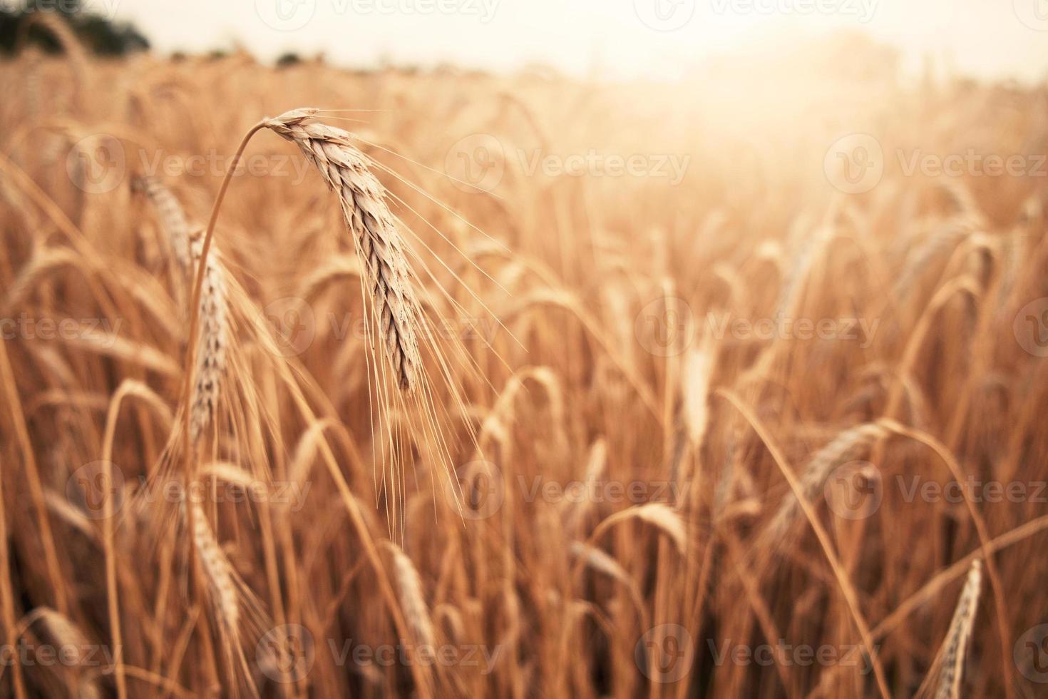 fundo de agricultura de trigo foto
