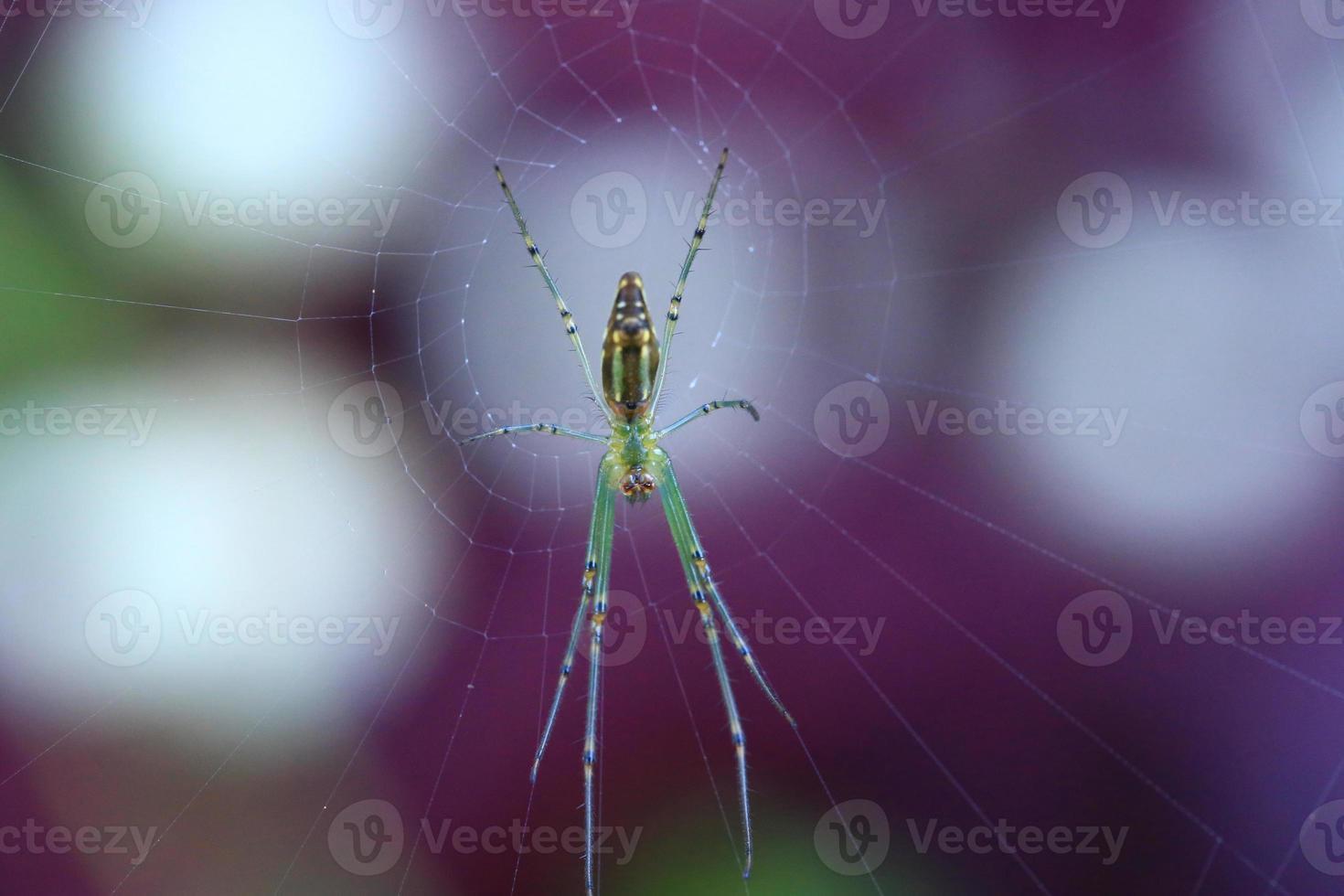 aranha doméstica na teia foto