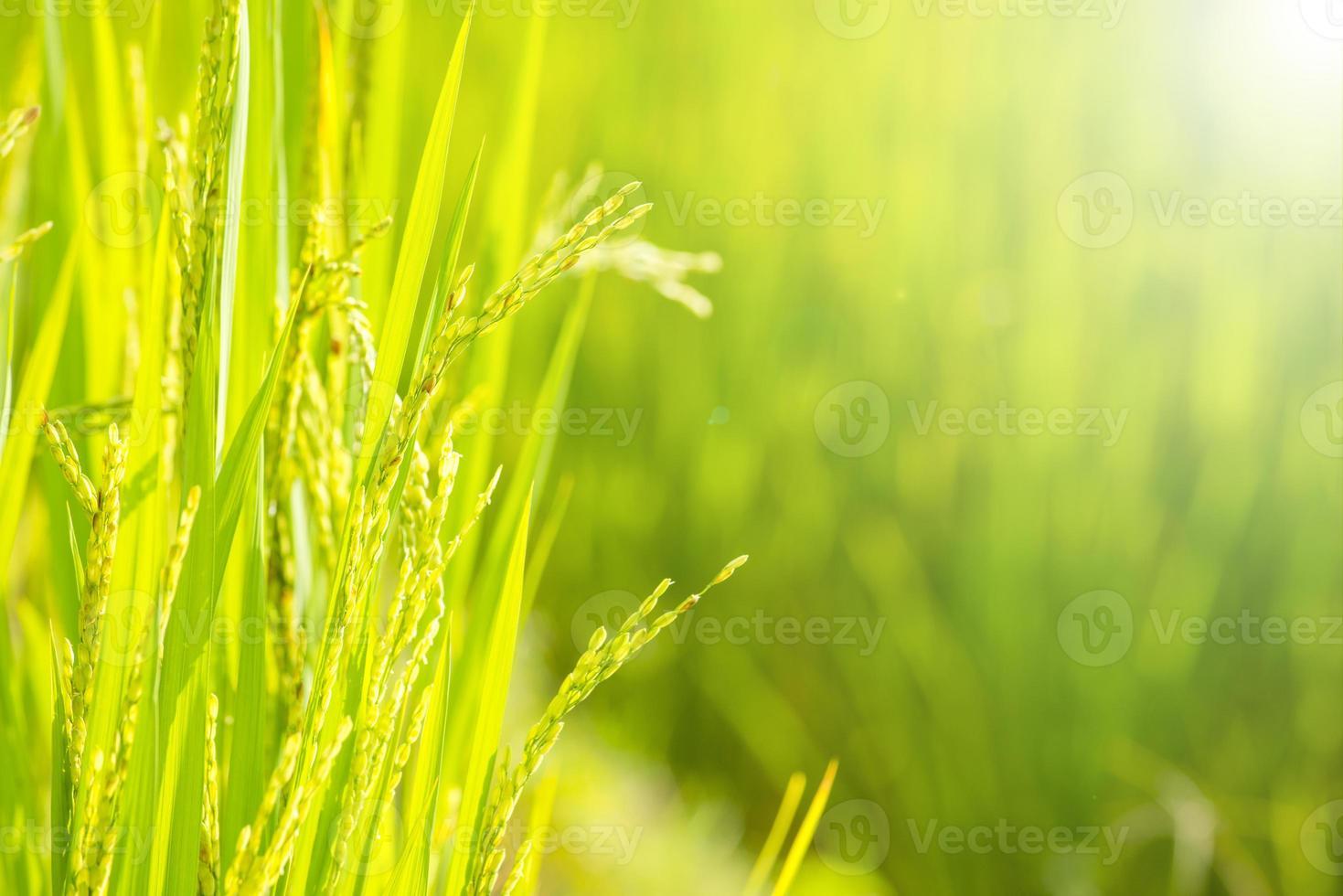 arroz no campo foto
