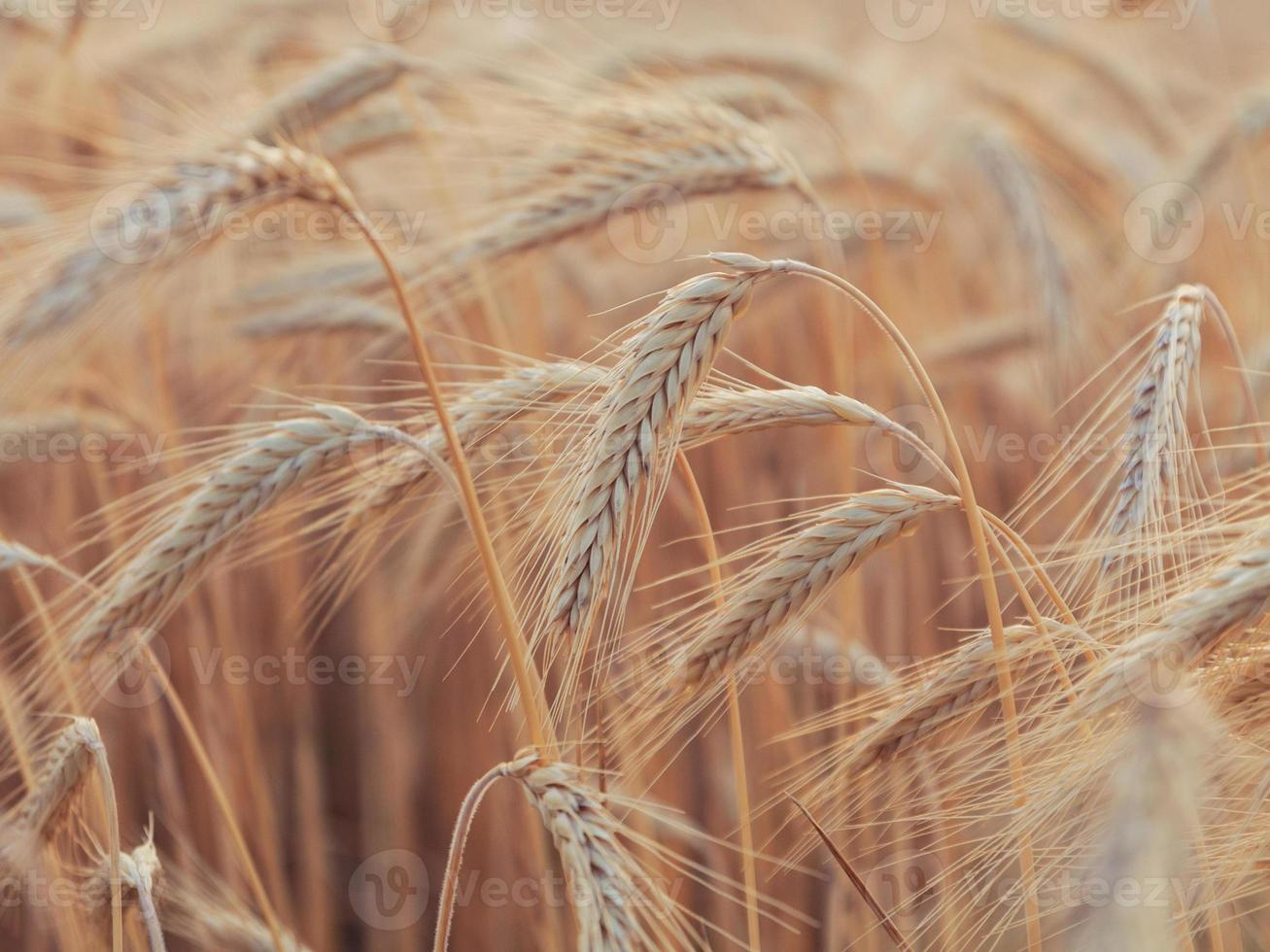 campo de trigo amarelo foto
