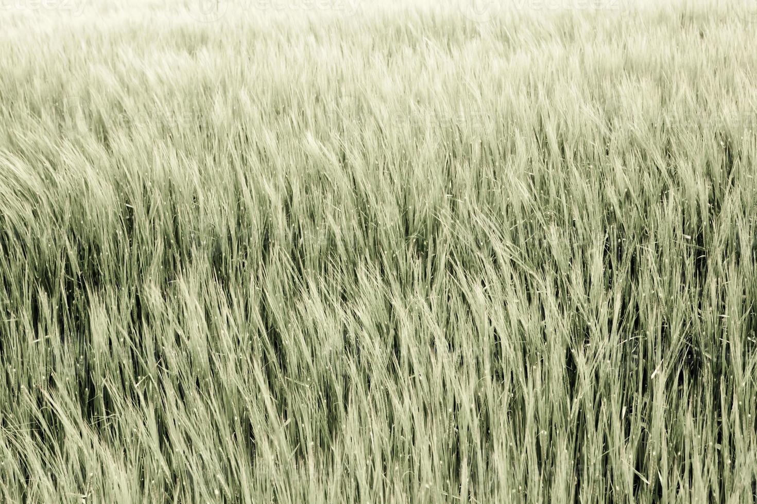 close up de grãos maduros / secos foto