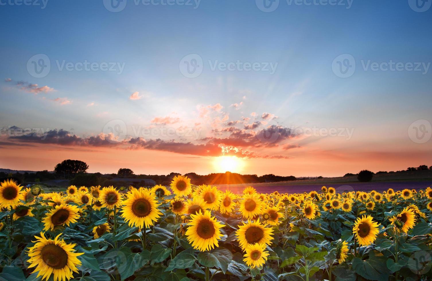 lindos girassóis durante um pôr do sol de verão com céu azul foto
