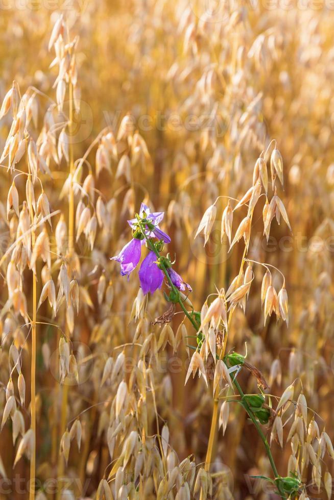 bluebell em um campo de grãos foto