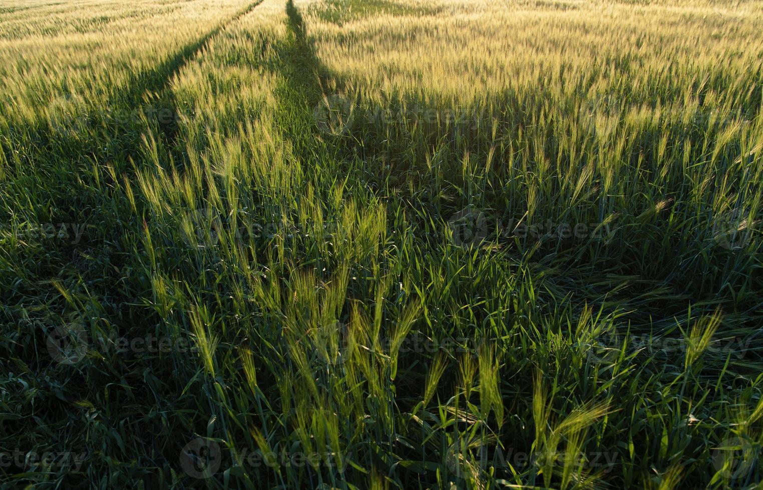campo de cevada na hora do pôr do sol foto