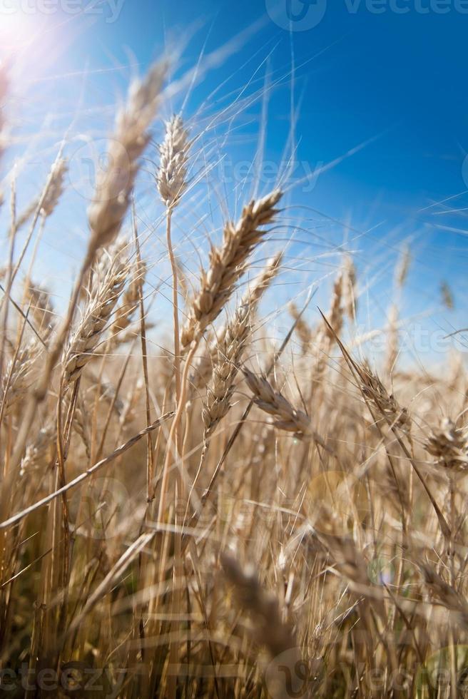 fundo de espigas de trigo com efeito de reflexo de lente foto