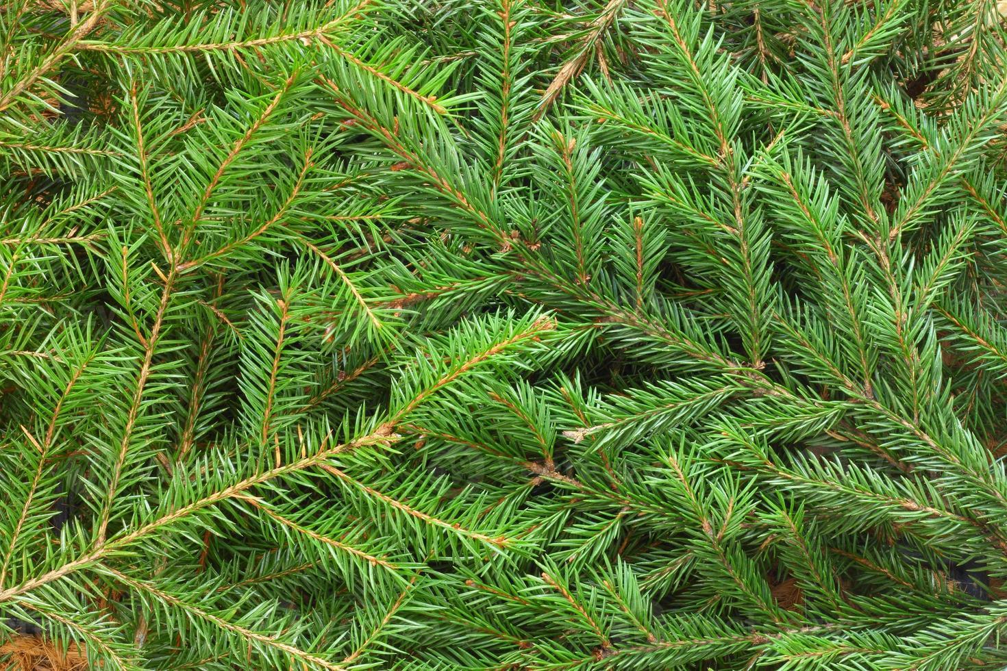 fundo de árvore de abeto foto