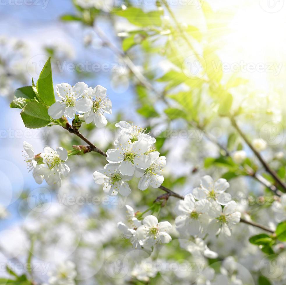 árvore de flores da primavera foto