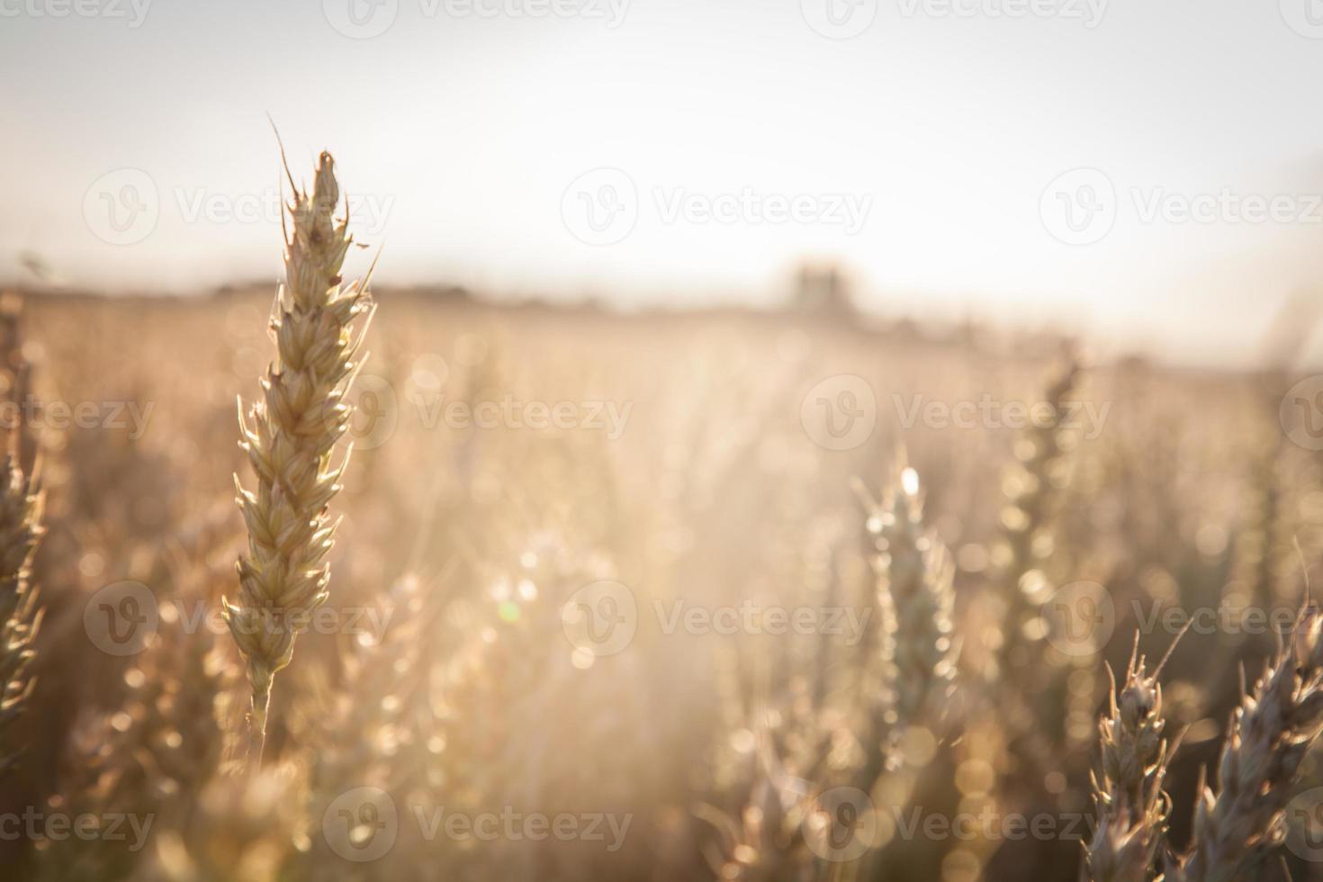 colheita de trigo foto