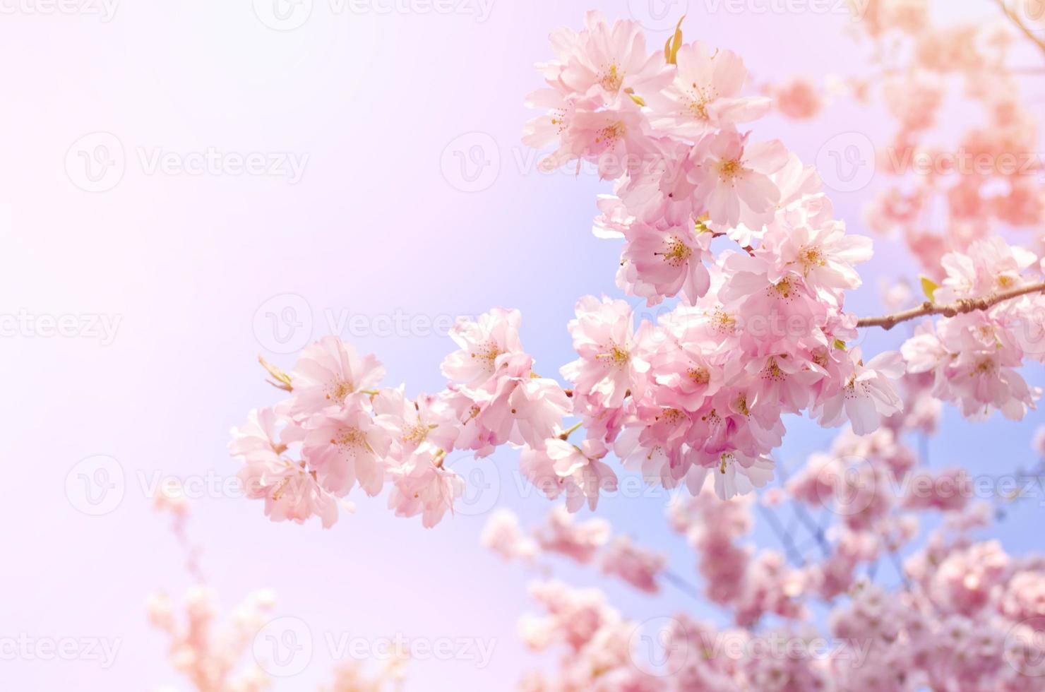 flores cor de rosa, árvore de flor no céu azul brilhante. foto