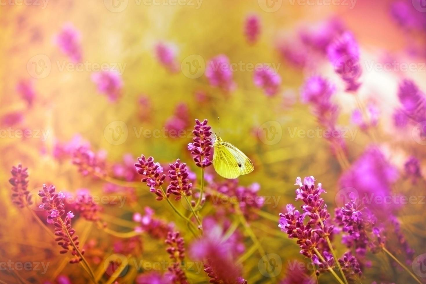 borboleta branca em uma linda lavanda foto