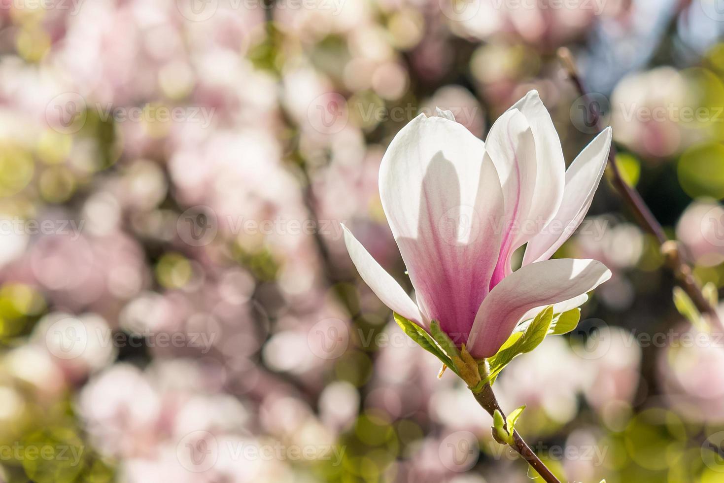 flores de magnólia em um fundo desfocado foto