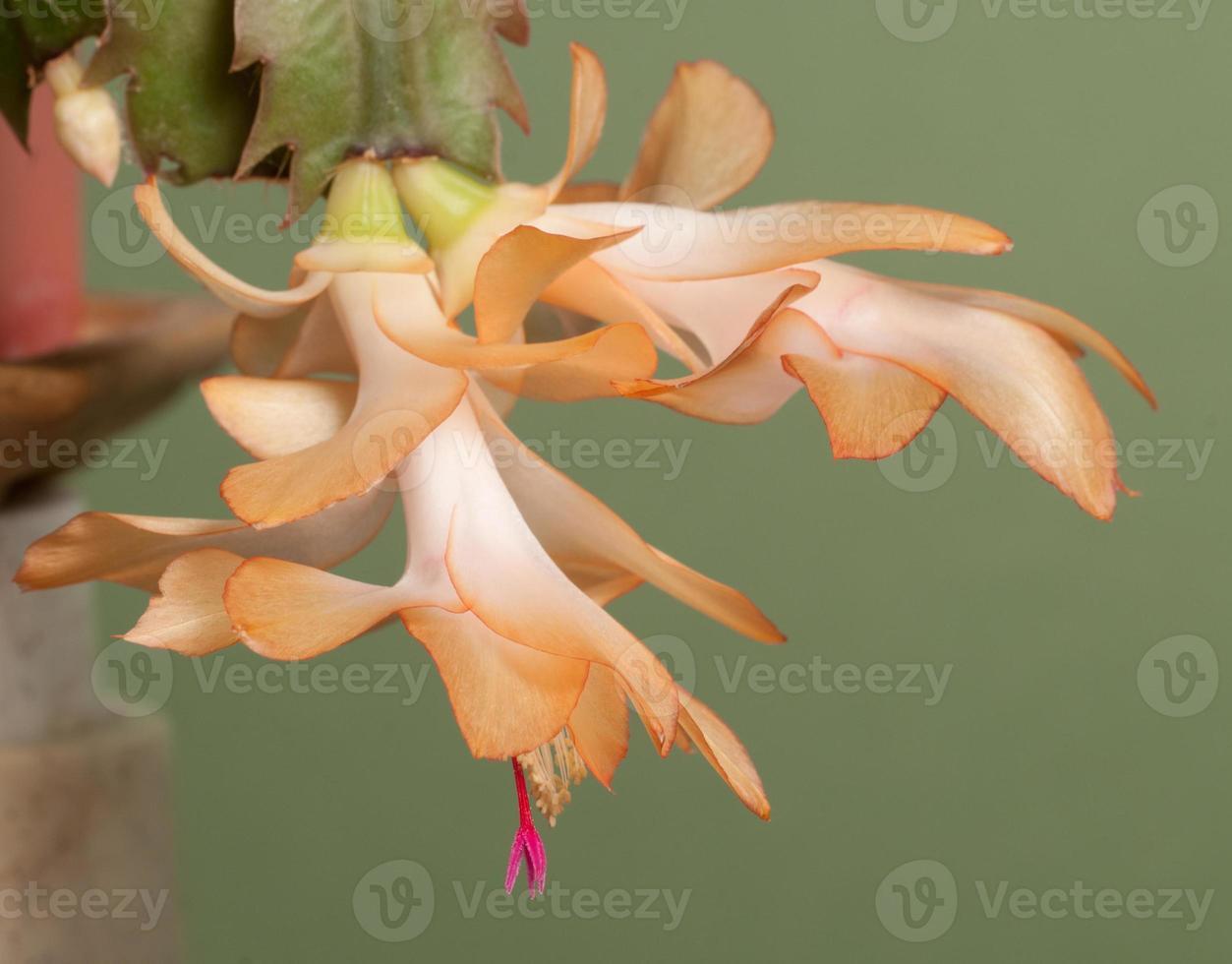 flor de cacto de natal foto