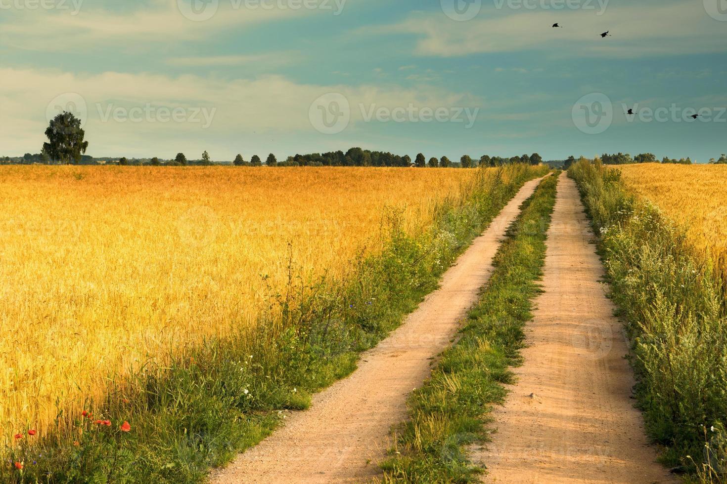 estrada rural entre campos de trigo foto