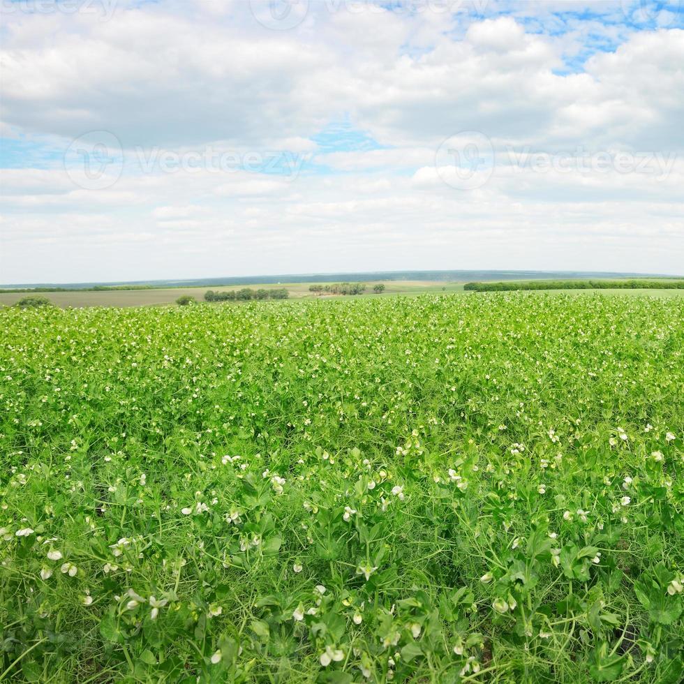 campo de ervilhas e céu azul foto