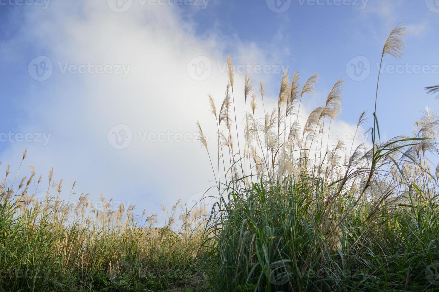 flor de grama contra o céu nublado foto