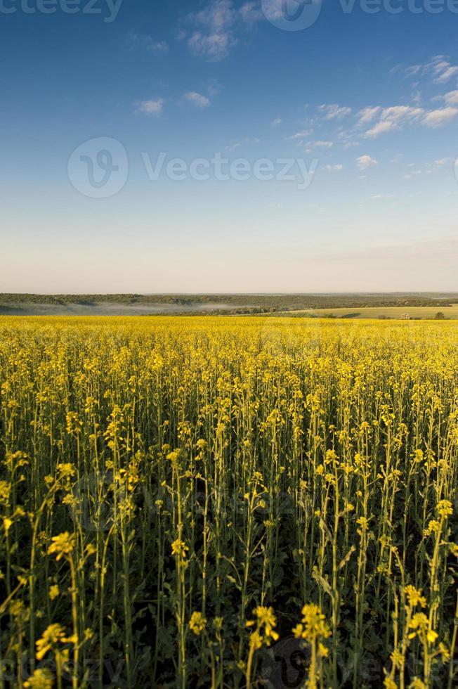 céu azul e campo amarelo foto