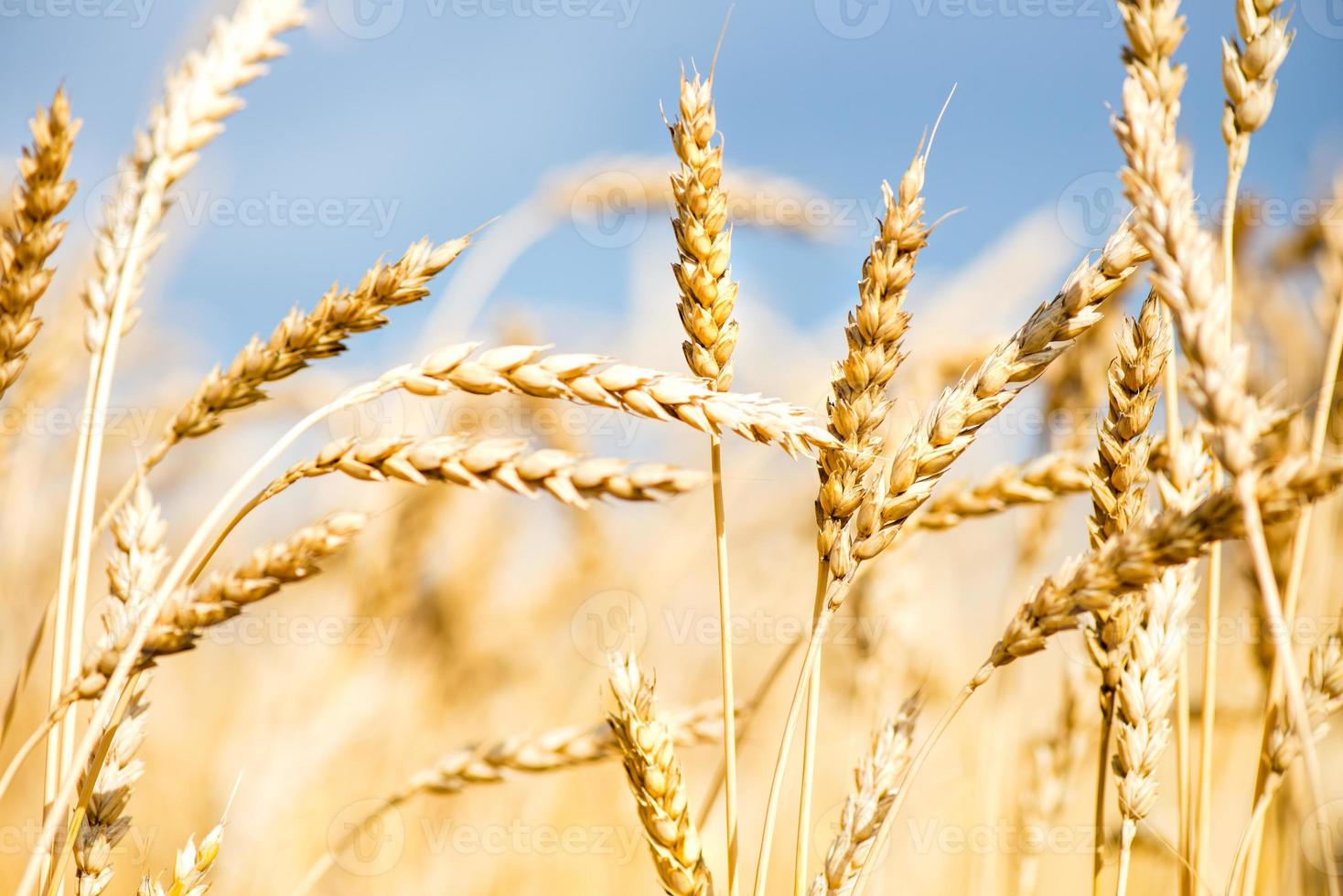 campo de trigo com céu azul e nuvens brancas foto