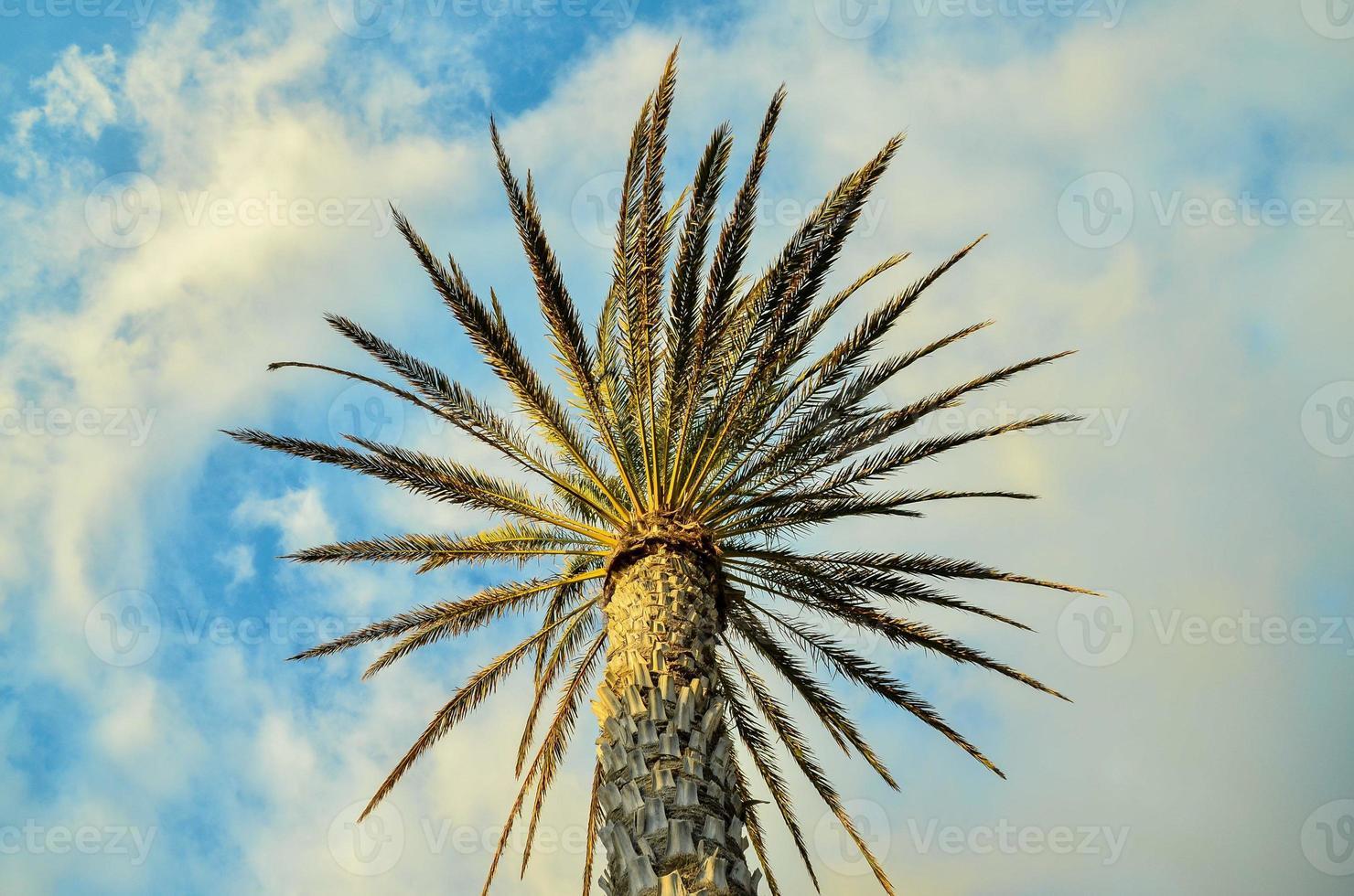 palmeira verde canária foto