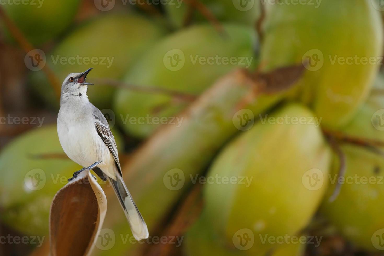 mockingbird tropical foto