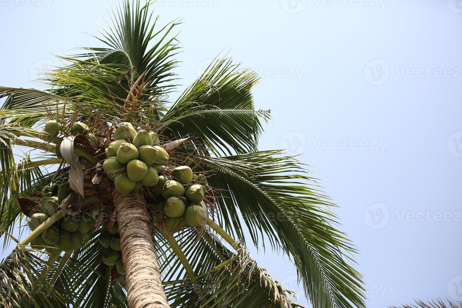 frutos de coco crescem na árvore foto