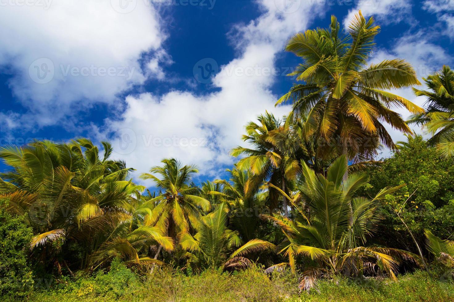 palmeiras na praia selvagem do caribe foto