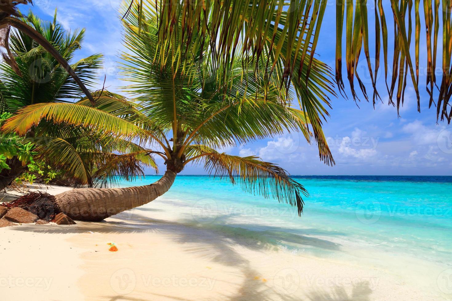 palmeira caída em uma praia das maldivas foto