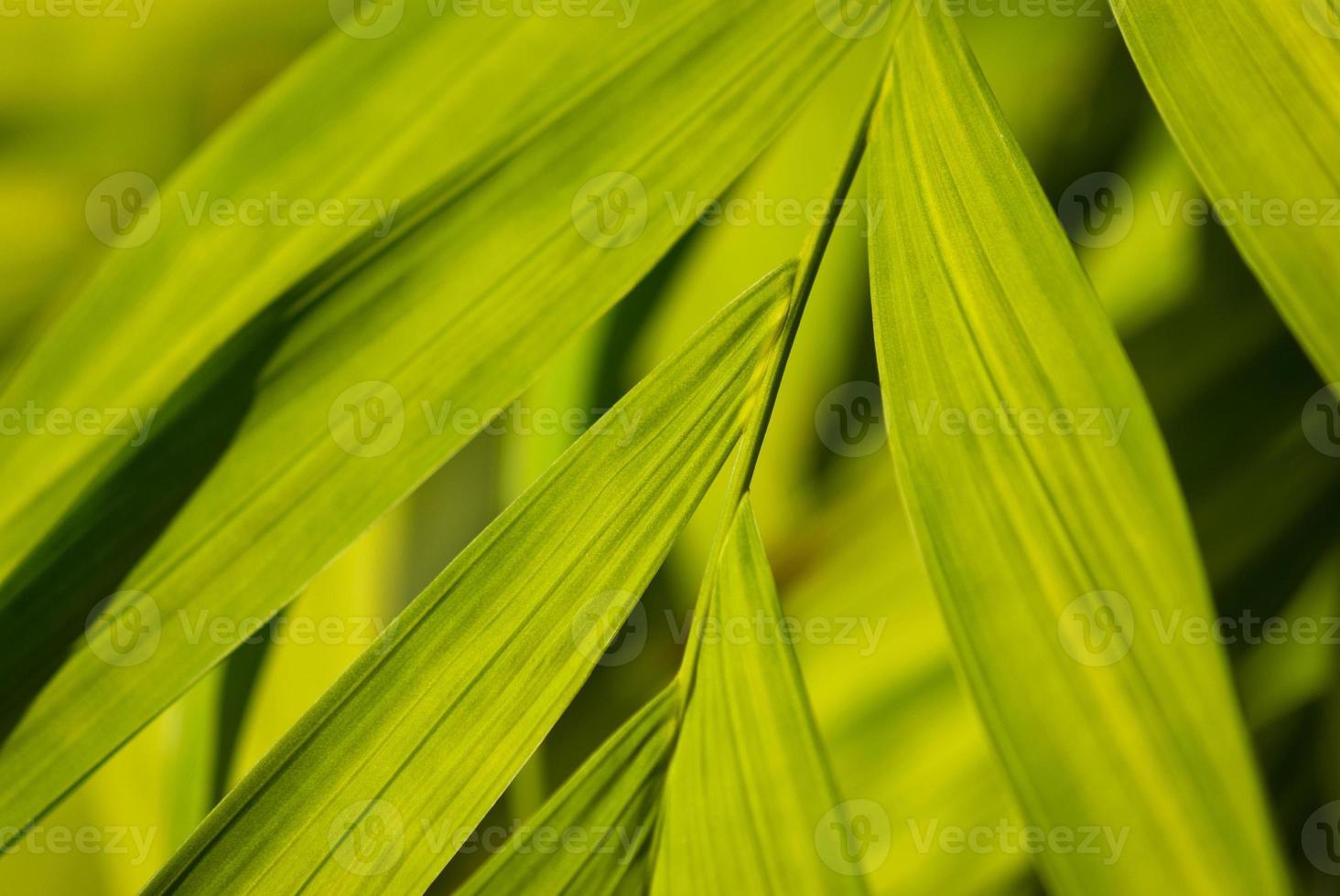 folhas largas de uma palmeira foto