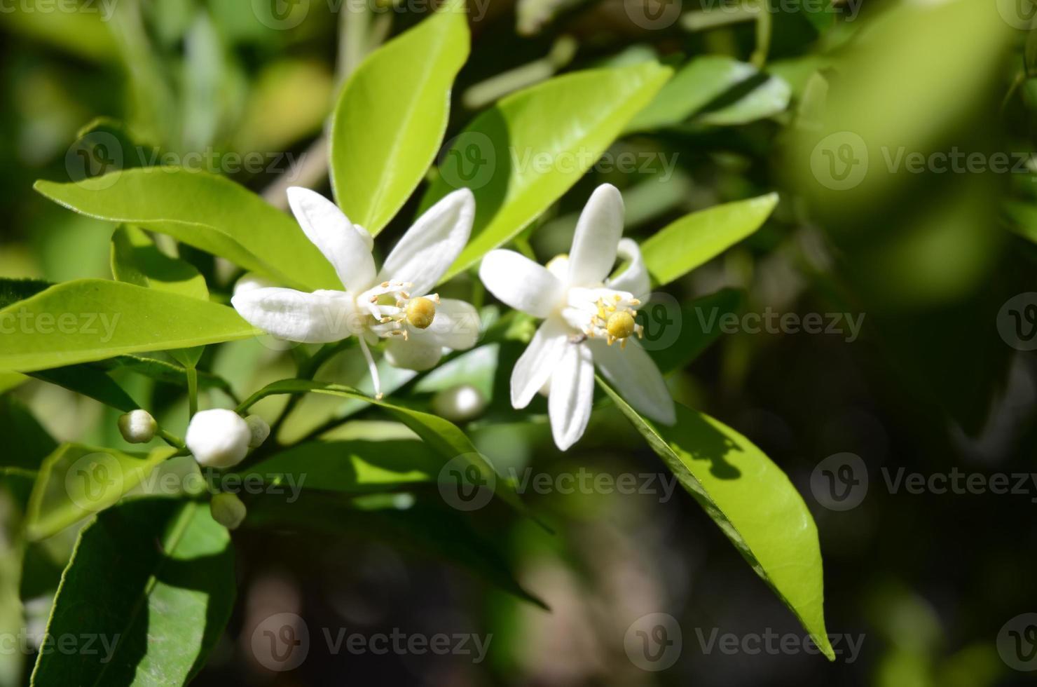flores de laranjeira brancas e perfumadas contra folhas verdes escuras foto