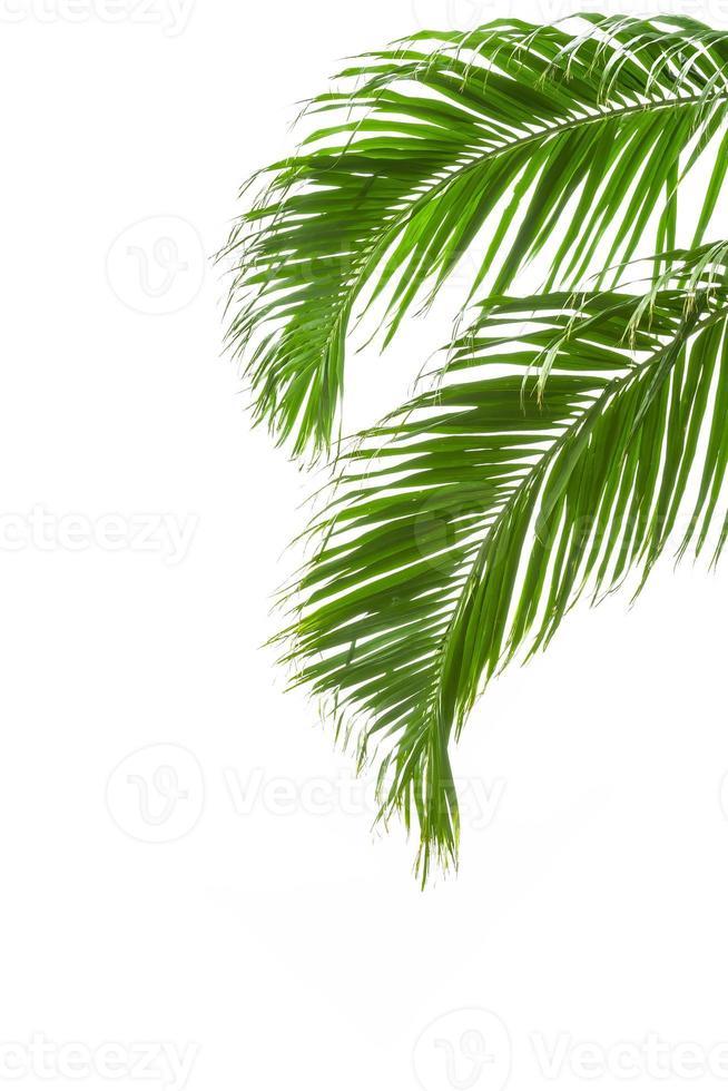 folhas de palmeira verdes isoladas no fundo branco foto