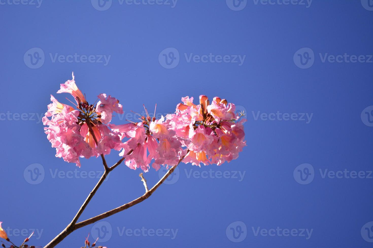 lindo ipê rosa foto