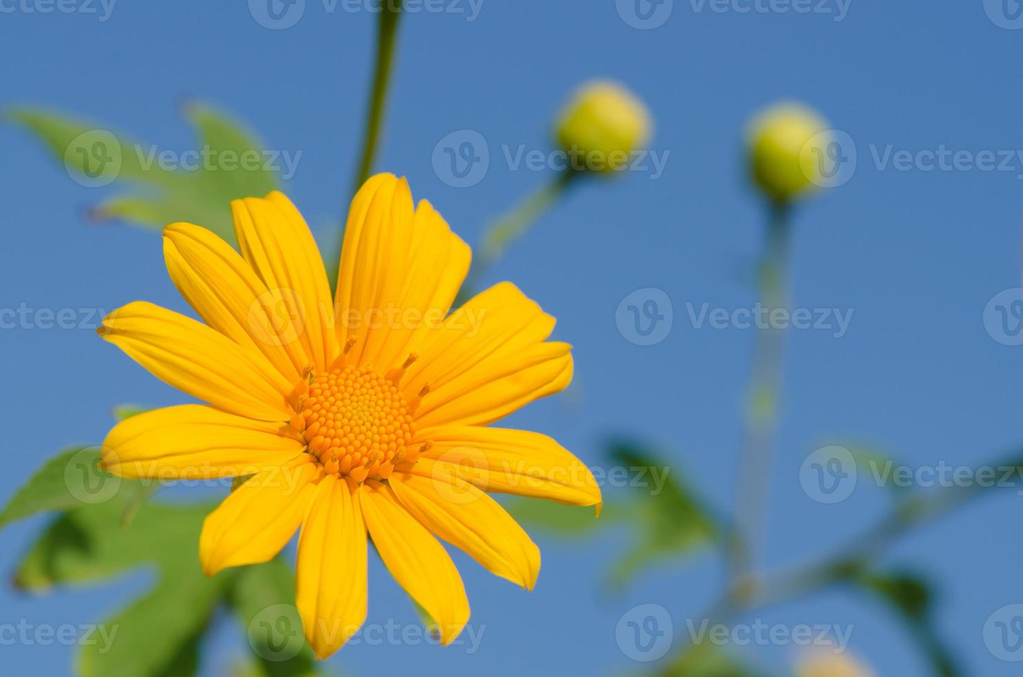 flor de calêndula (tithonia diversifolia) foto