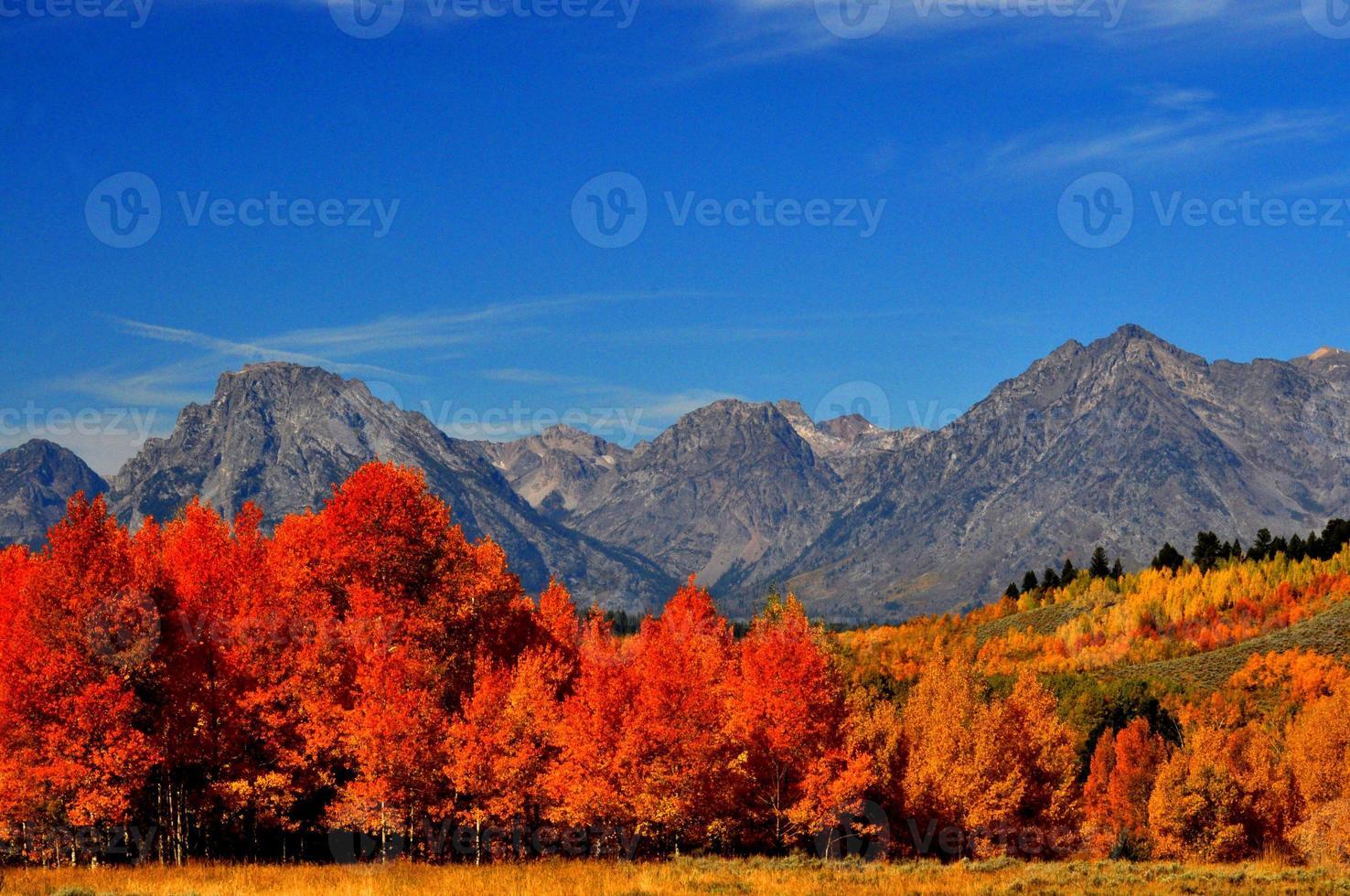 álamos alaranjados brilhantes sob montanhas cobertas de neve. foto