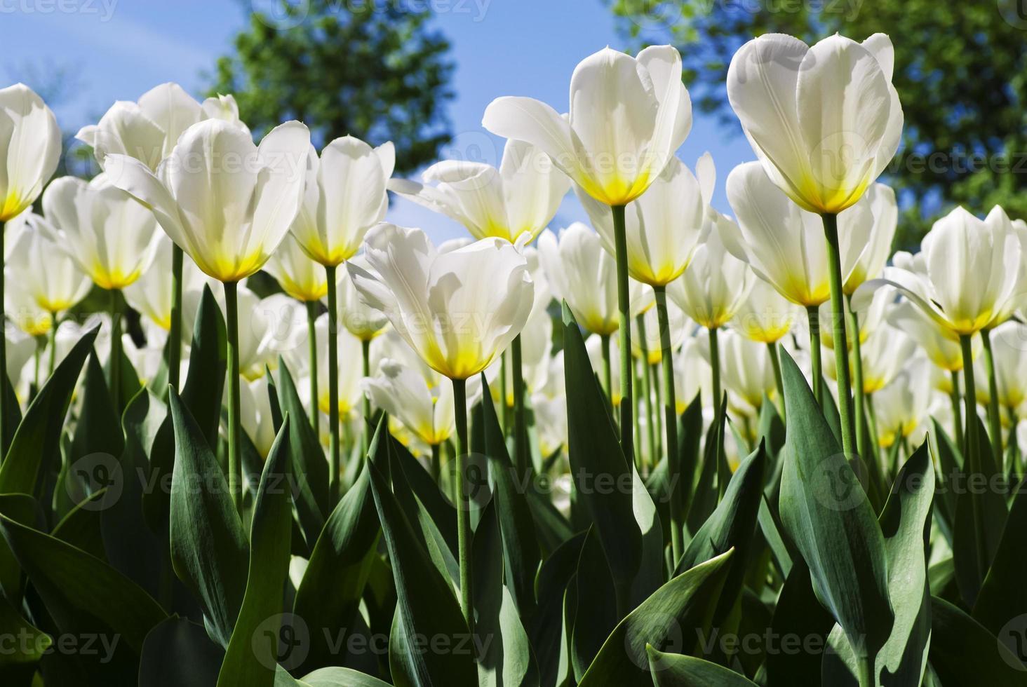 fundo de primavera com lindas tulipas brancas foto
