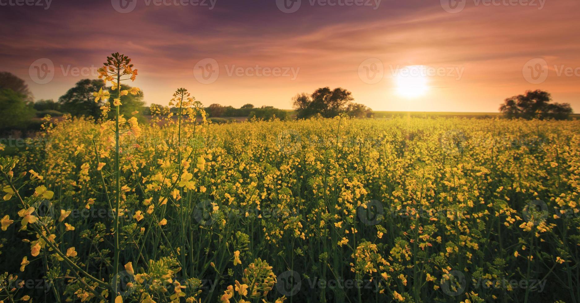campos de canola na primavera foto