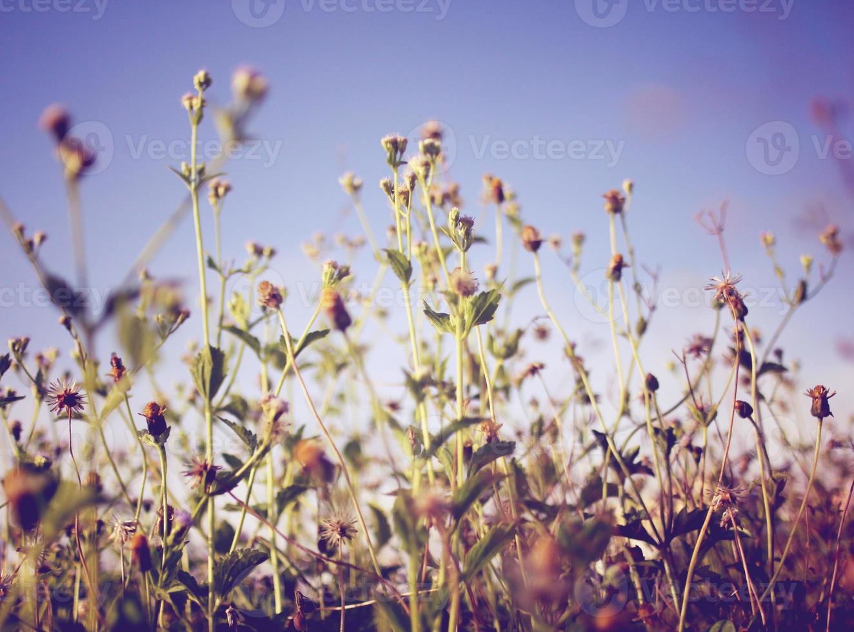 flores secas do prado e céu azul com efeito de filtro retrô foto