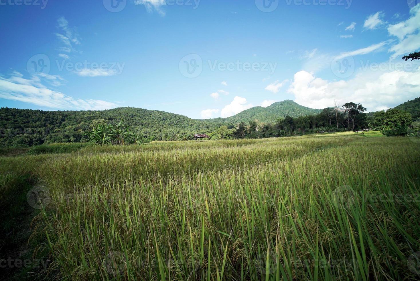 plantação de arroz foto