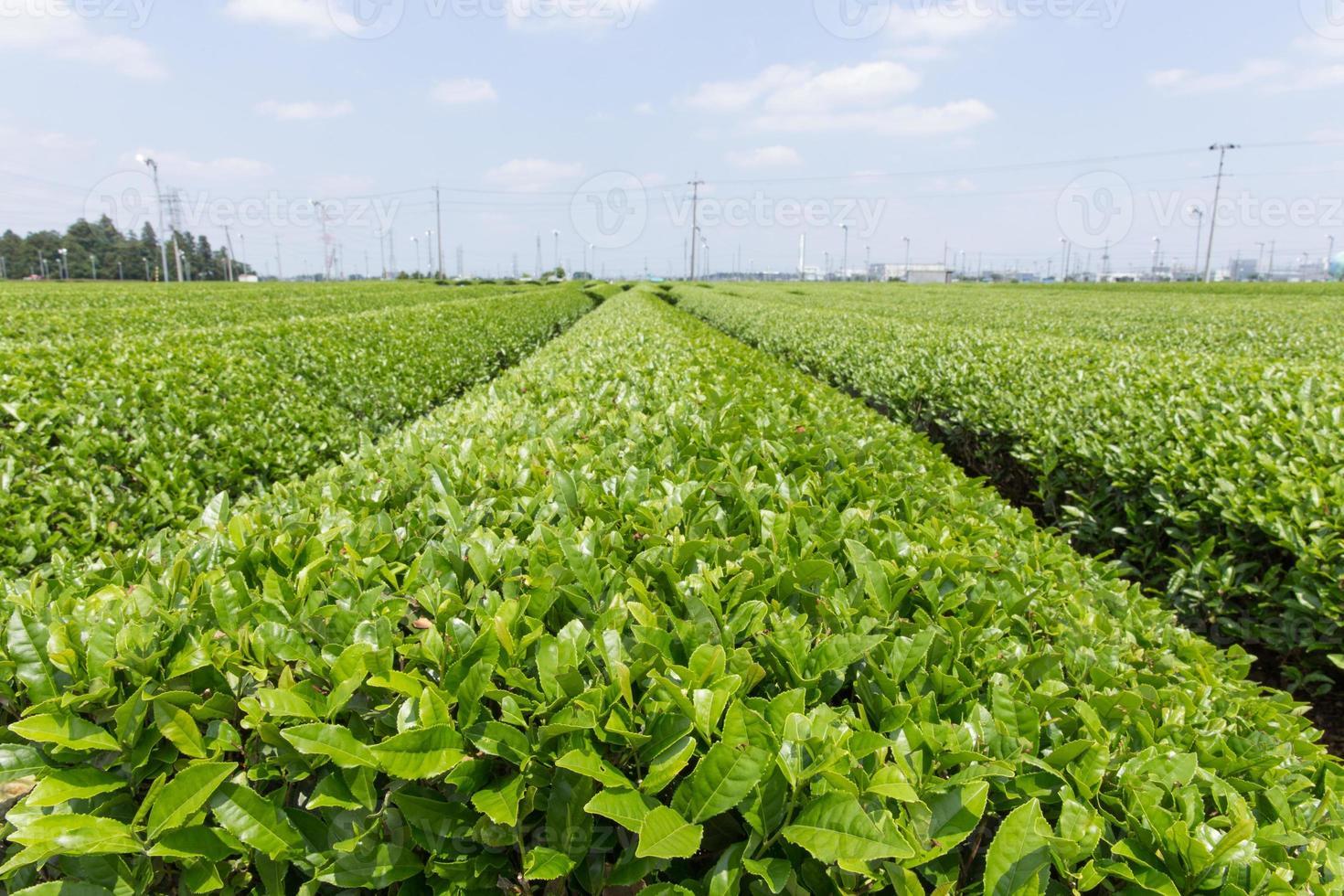 plantação de chá (colina da província de saitama sayama) foto