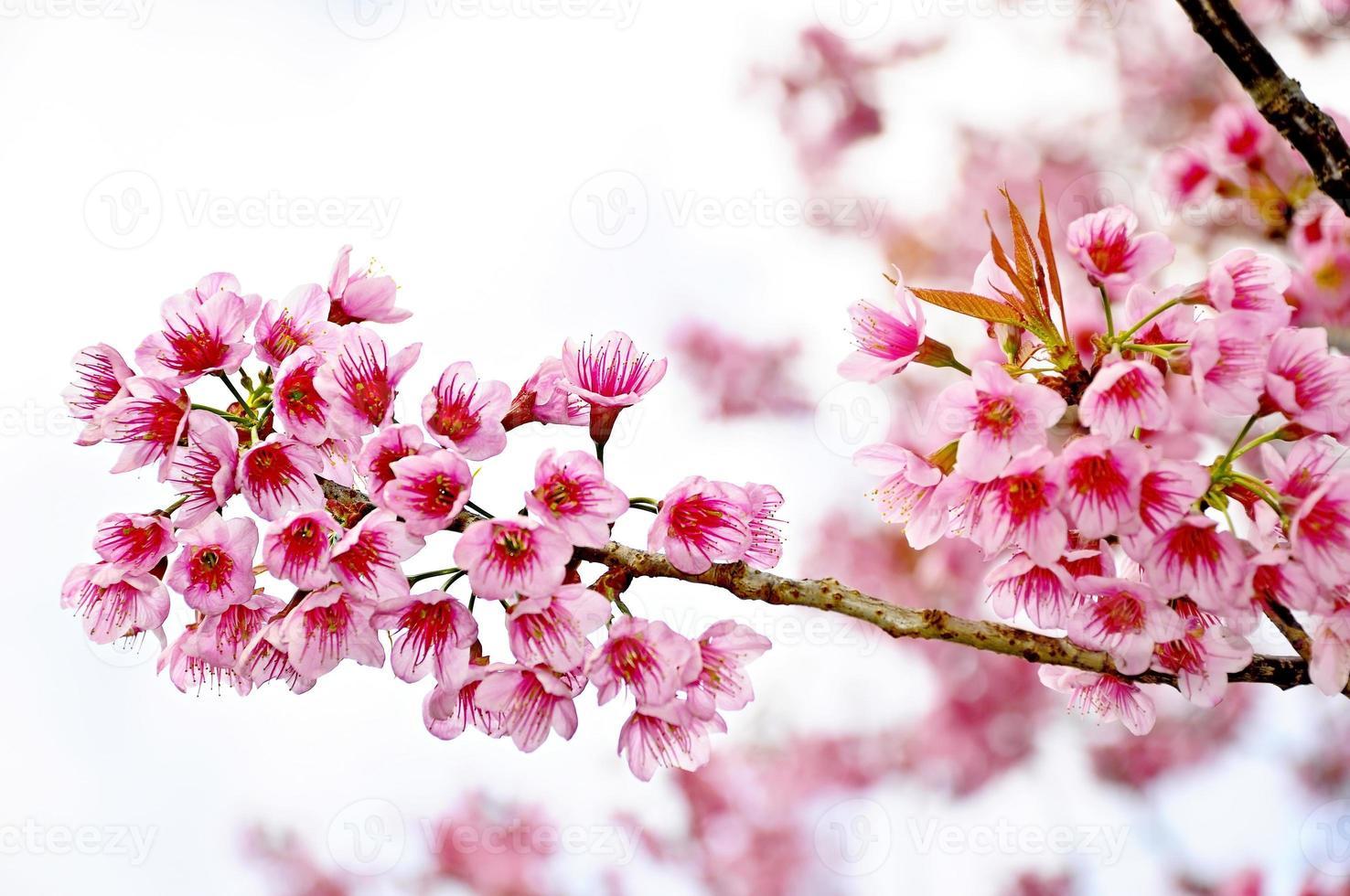 flor de cerejeira ou sakur foto