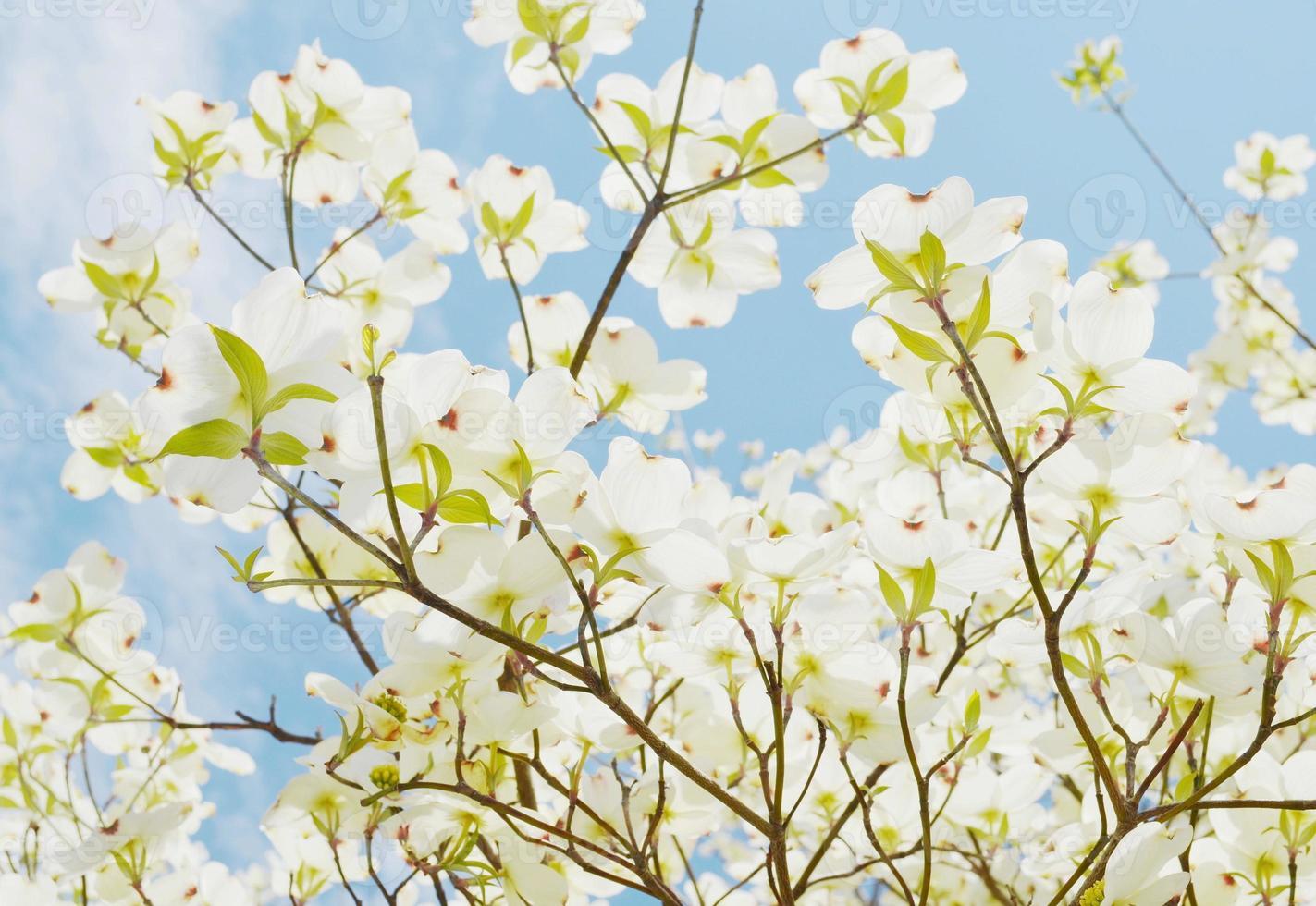 árvore dogwood branco foto