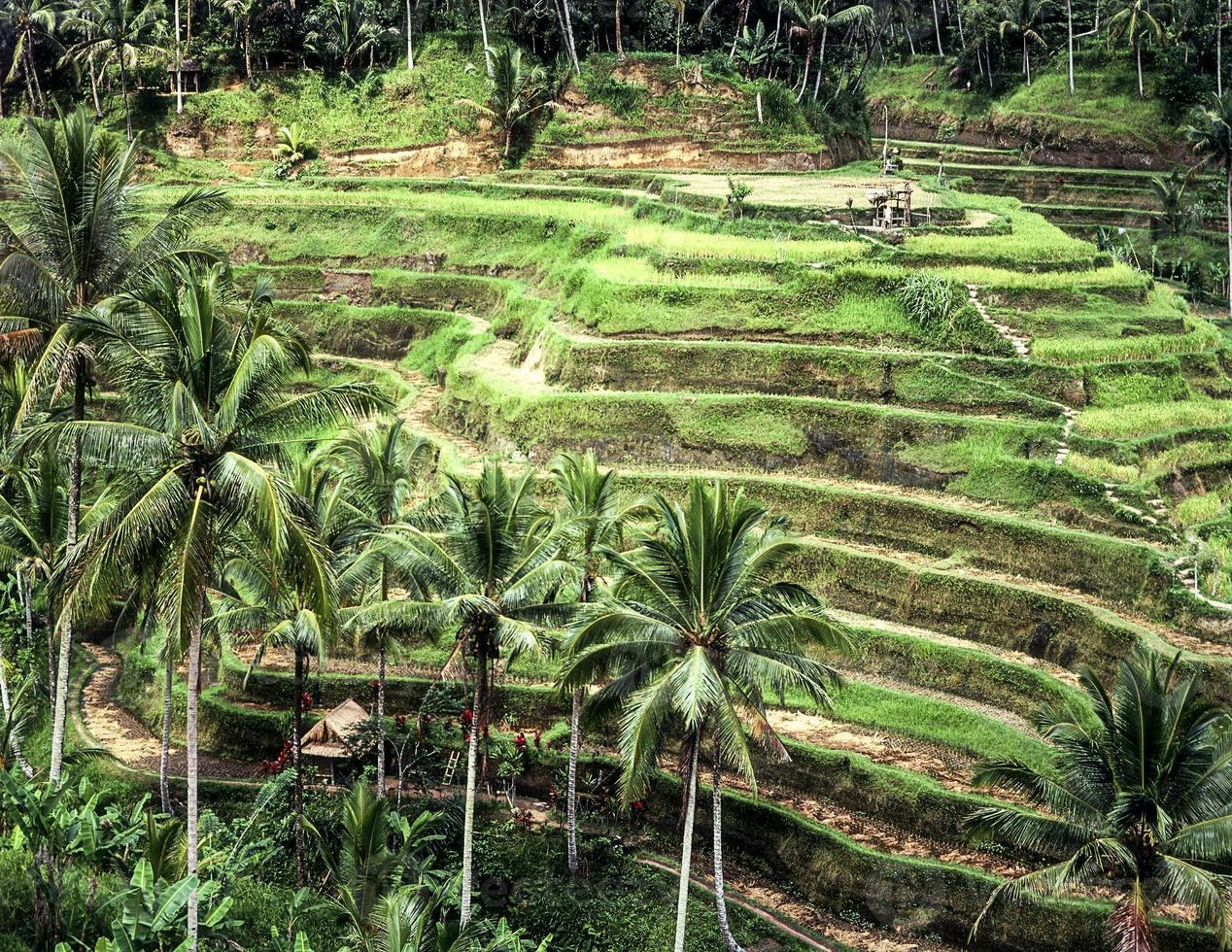 arrozais em socalcos em bali foto