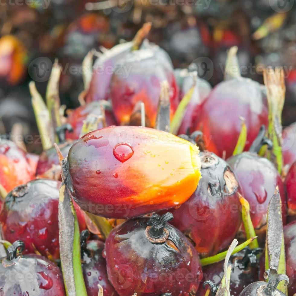 frutos de óleo de palma foto