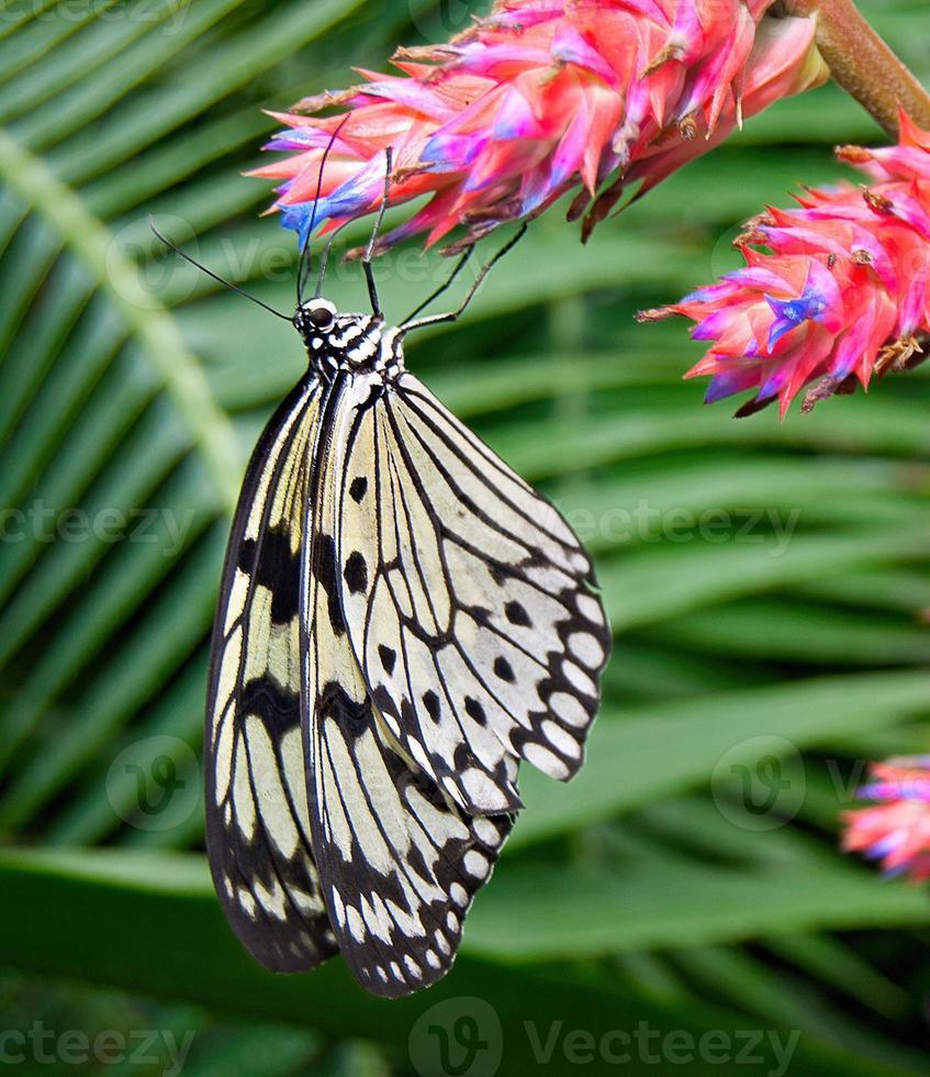 borboleta ninfa da árvore foto