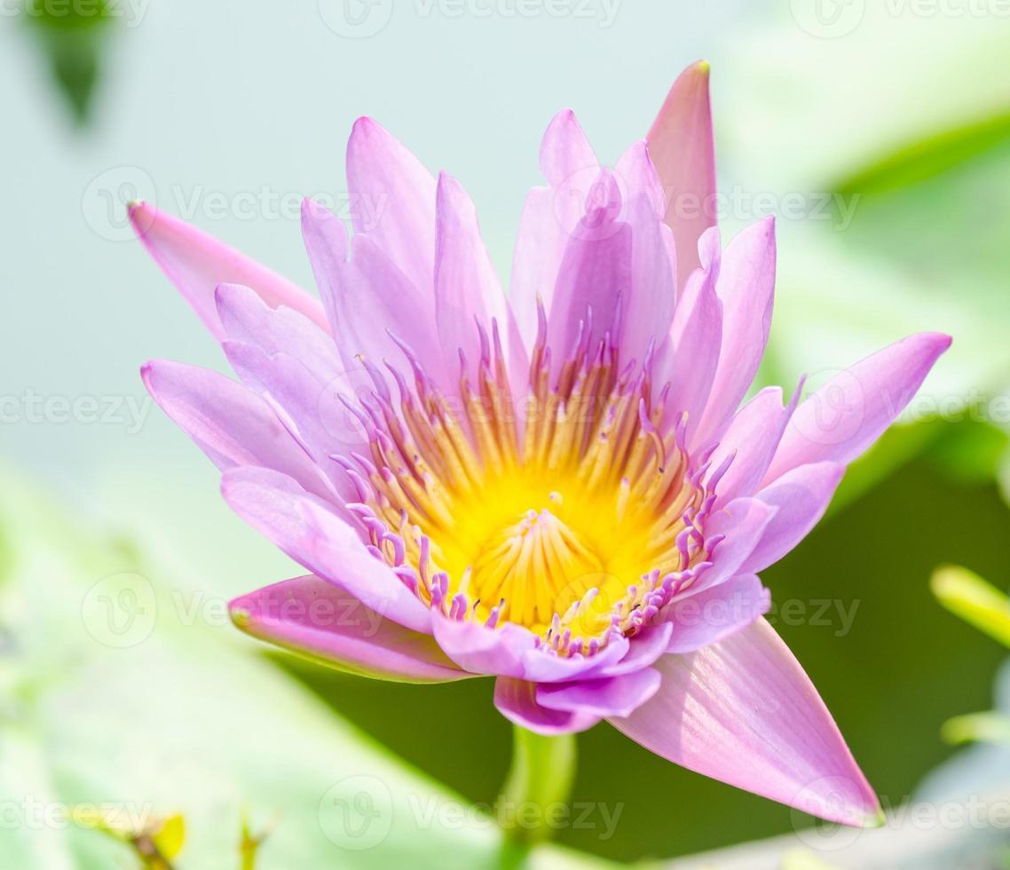 flor de lótus na lagoa foto