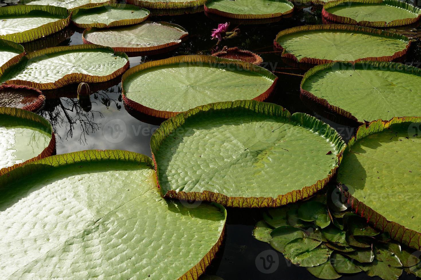 folha verde de flor de lótus foto